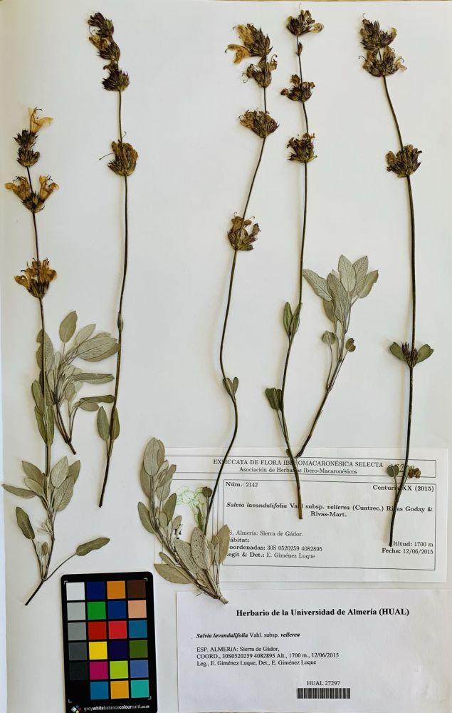 Salvia lavandulifolia Vahl. Subsp. vellerea
