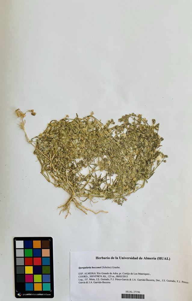 Spergularia bocconei (Schelee) Graebn