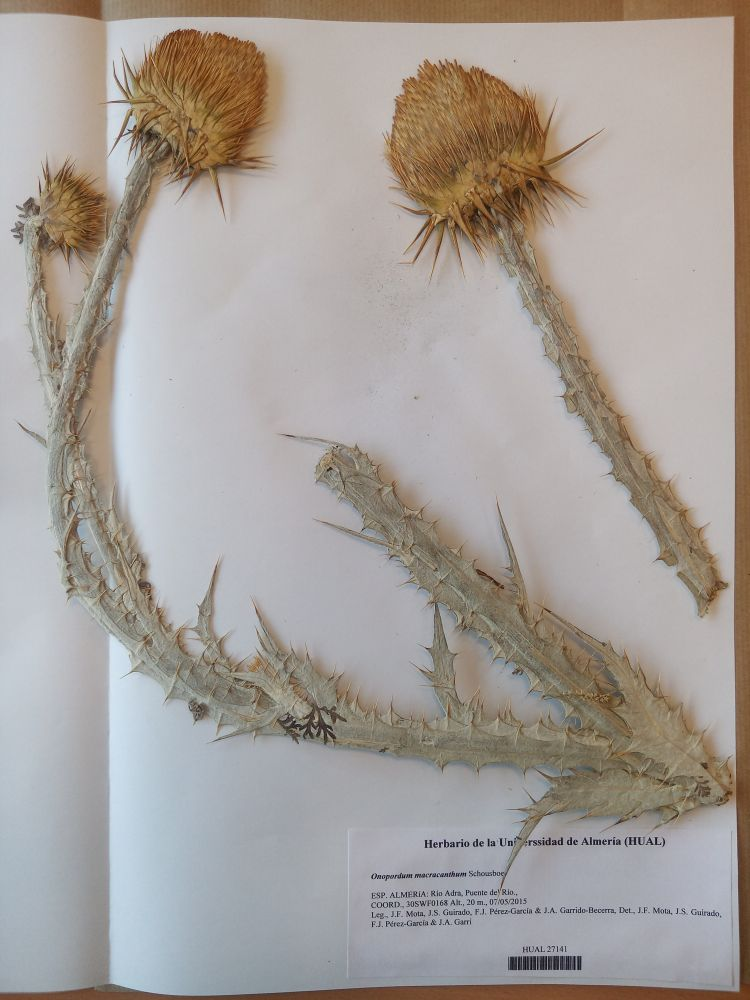Onopordum macracanthum Schousb.
