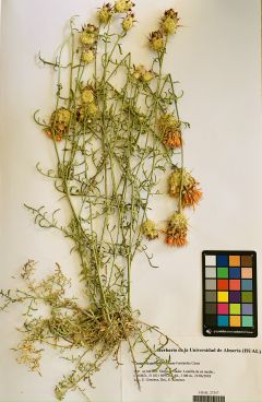 Centaurea gabrielis-blancae Fernández Casas