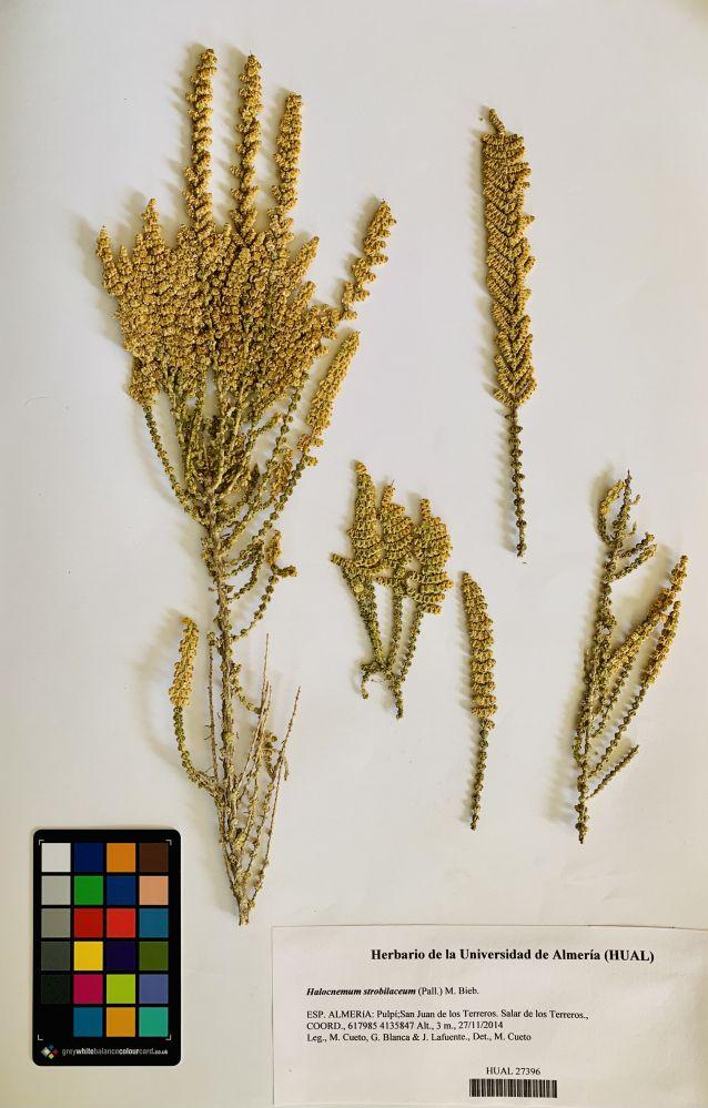 Halocnemum strobilaceum (Pall.) M. Bieb.