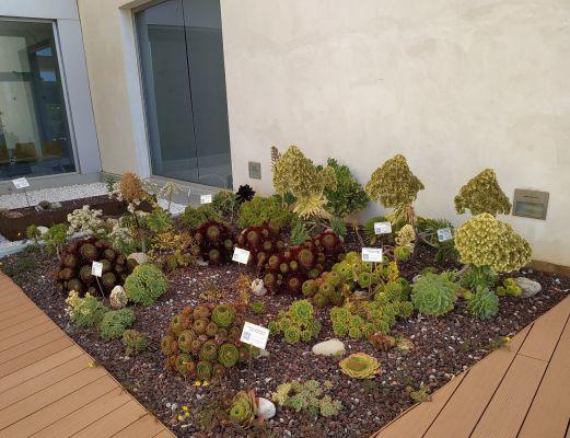 Jardín de Aeoniums